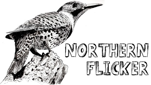 how to draw northern flicker pen ink