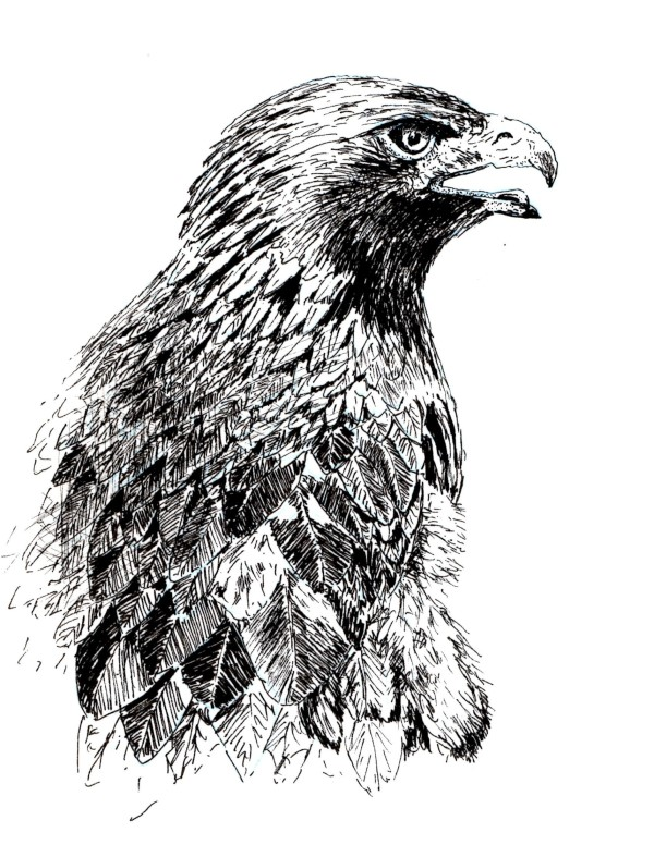 how to sketch a golden eagle in pen and ink