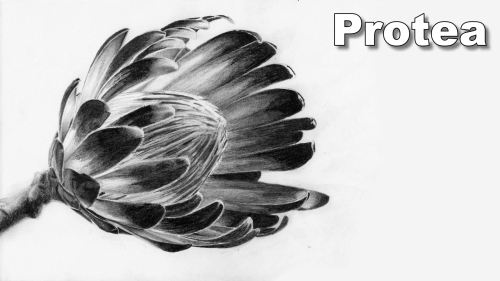 how to draw a protea flower