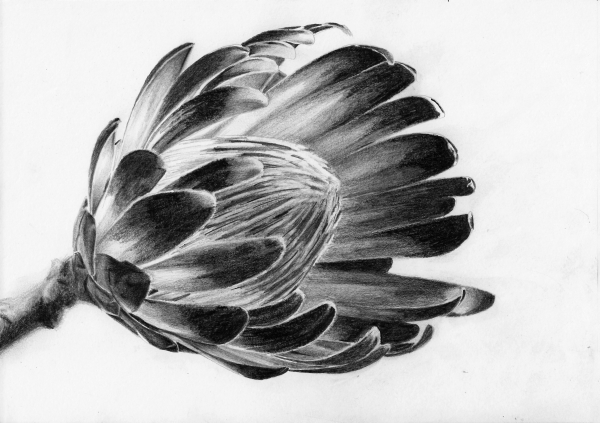 flower drawing tutorial protea