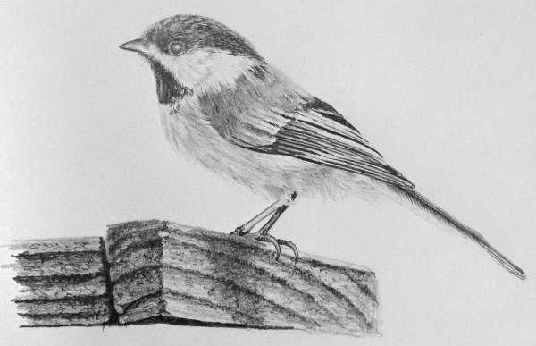 how to draw birds - black capped chickadee
