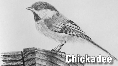 how to draw chickadee bird pencil
