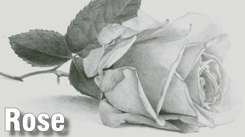 how to draw rose pencil