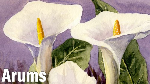 how to paint arums watercolour
